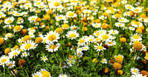 Roman Chamomile Essential Oil Benefits That May Surprise You!