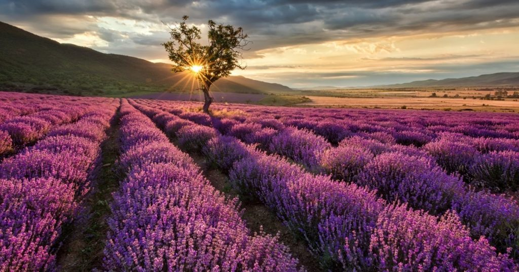 Lavender Essential Oil Benefits (King For A Reason?)