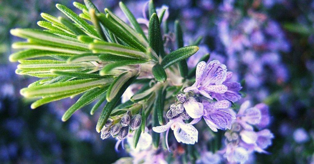 11 Rosemary Essential Oil Benefits – Skin, Hair & Health!