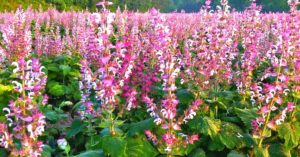 Clary Sage Essential Oil Benefits (Magical & Powerful!)