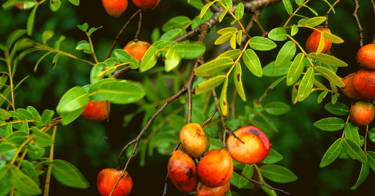 uses of copaiba essential oil